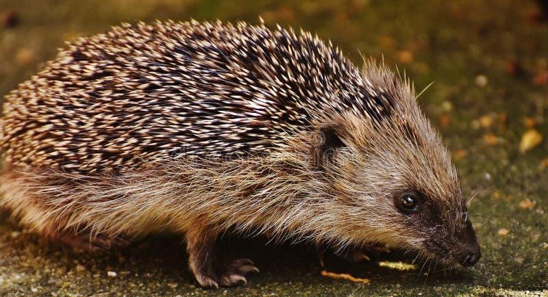 Black Grey Hedgehog royalty free stock photography