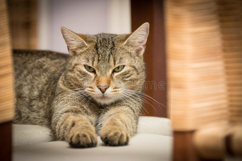Black and Grey Tabby Cat royalty free stock images