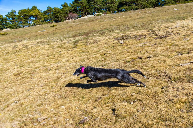 Black greyhound running at full speed through the meadow stock photos
