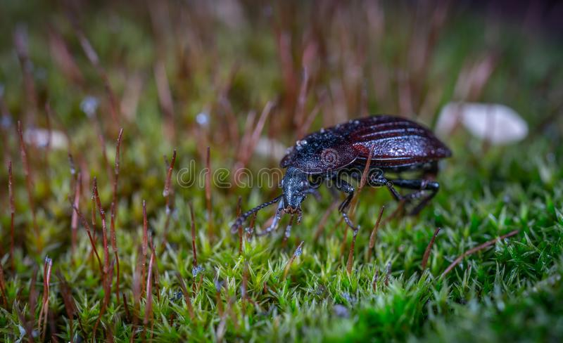 Black Ground Beetle on Green Grass in Closeup Photography royalty free stock photography