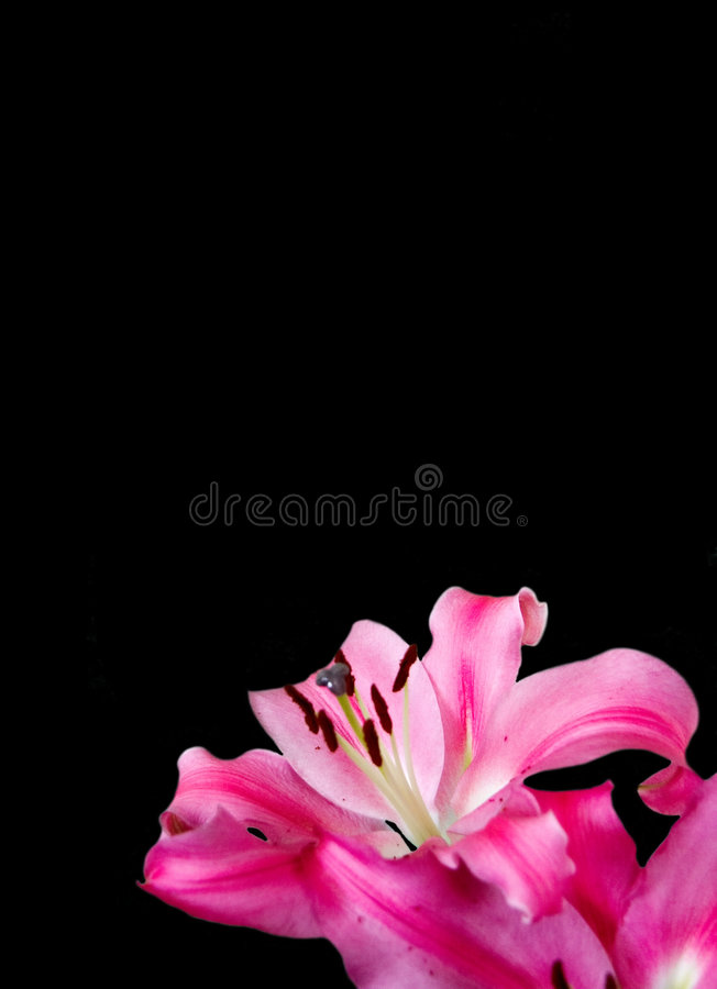 Download Black Ground With Pink Lily Stock Image - Image: 4193419