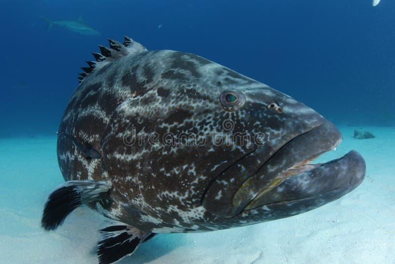 Black Grouper royalty free stock image