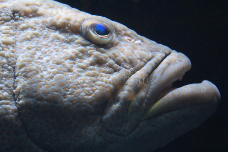 Black grouper. Headshot of a Black Grouper (Mycteroperca bonaci royalty free stock image