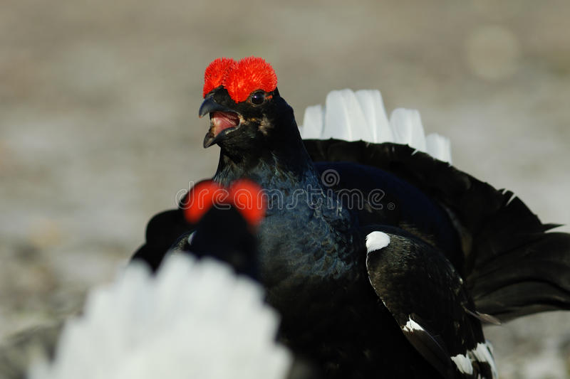Download Black Grouse Fighting Stock Photography - Image: 21871972