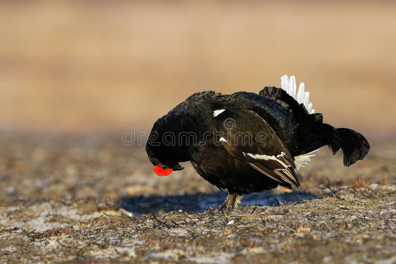 Download Black Grouse Head Down Stock Image - Image: 22078761
