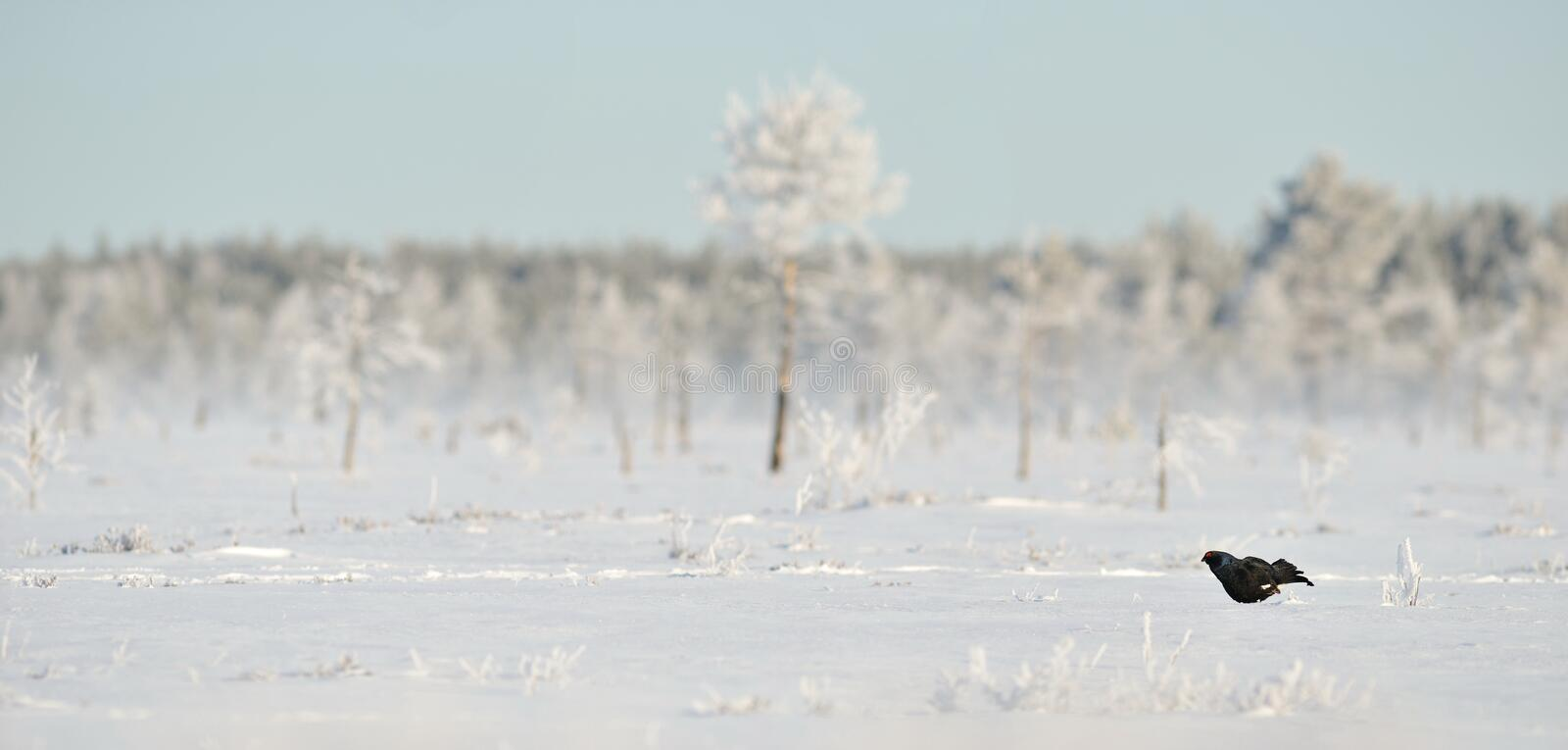 Download Black Grouse on the snow stock image. Image of frozen - 21872379
