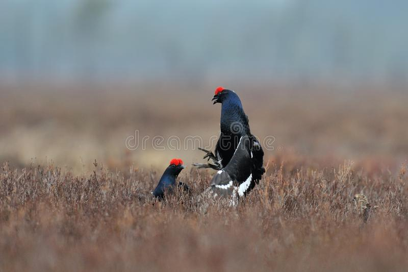 Download Black Grouse (Tetrao Tetrix) Fight Stock Photography - Image: 24662592
