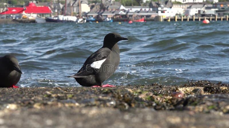 Black Guillemot on a pier. Black Guillemot with the town of Oban in background stock footage