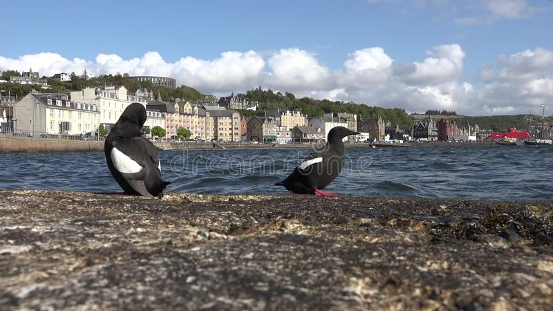 Black Guillemot on a pier. Black Guillemot with the town of Oban in background stock video