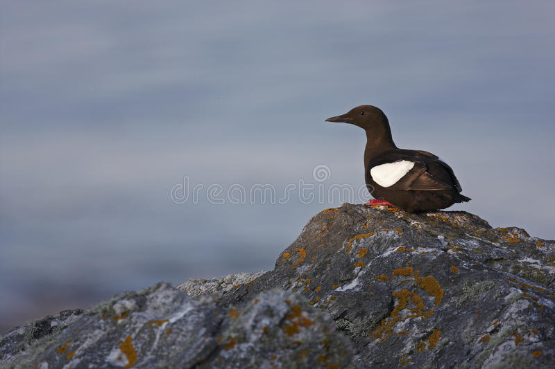 Black Guillemot. Standing on a rock with the sea in the background stock photo