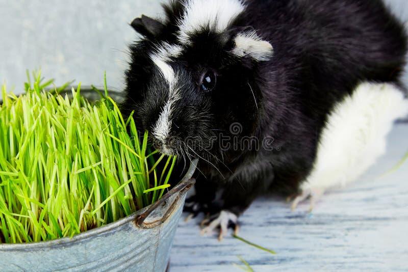Black guinea pig near vase with fresh grass. Studio foto. Black guinea pig near vase with fresh grass. Studio foto royalty free stock photography