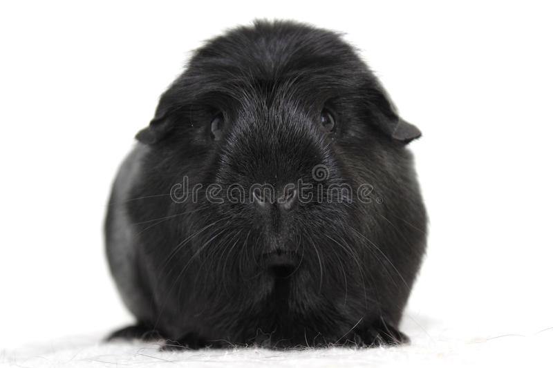 Black guinea pig royalty free stock images