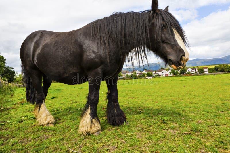 Black Gypsy horse aka Gypsy Vanner or Irish Cob grazes on pasture. Black Gypsy horse aka Gypsy Vanner grazes on pasture. Summer rural landscape with Irish Cob in stock photos