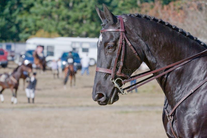 black hästen royaltyfria foton