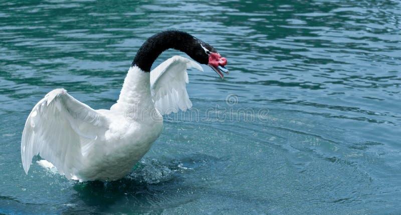 black hånglad swan arkivfoto