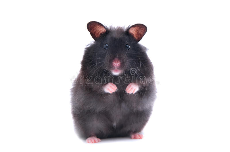 Black hamster. Close up shot of black humster isolated on white stock images