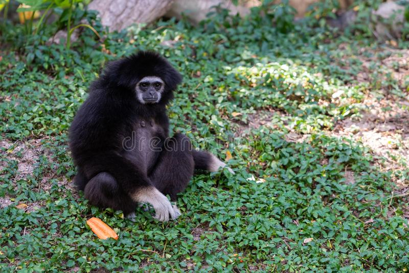 Black handed gibbon sitting on ground looking into distance stock photos