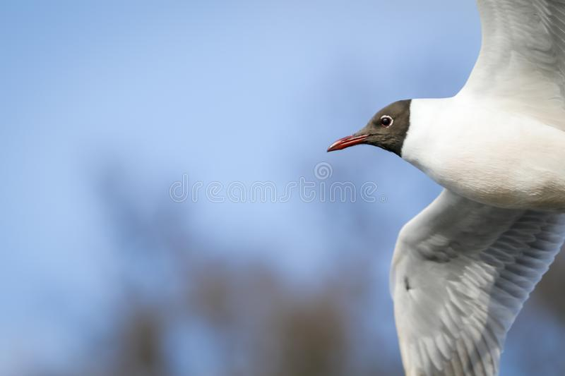 Black head seagull in flight stock images