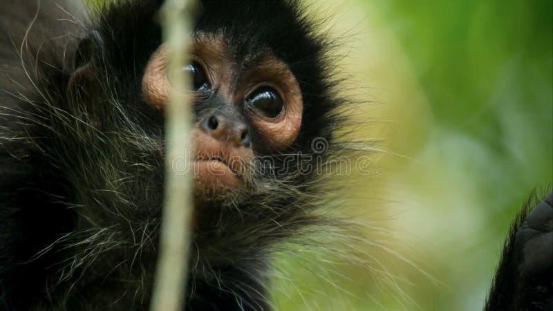 Black-headed蜘蛛猴蛛猴属fusciceps在一棵树垂悬在科尔科瓦杜国家公园在哥斯达黎加 免版税库存图片