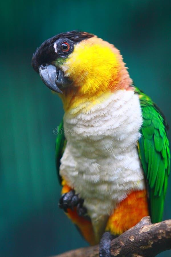 Download Black-headed Caique stock photo. Image of orange, bill - 20791620