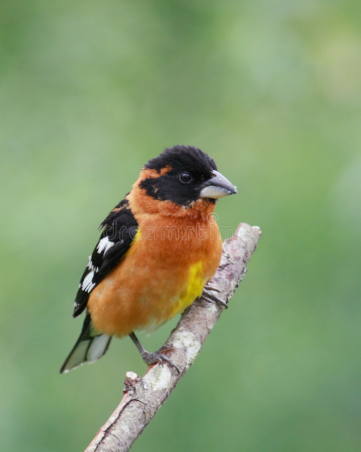 Black-headed grosbeak royalty free stock images