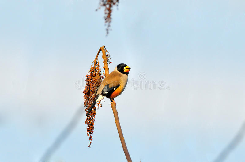 Black-headed grosbeak on a branch stock photos