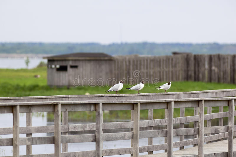 Download Black-headed Gull Royalty Free Stock Photos - Image: 19855508
