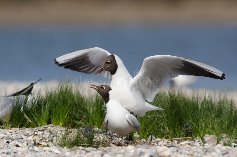 Download Black-headed gull stock photo. Image of pairing, seagull - 25168768
