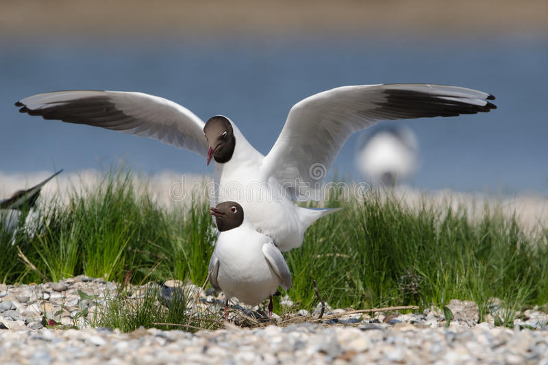 Download Black-headed Gull Royalty Free Stock Images - Image: 25168829