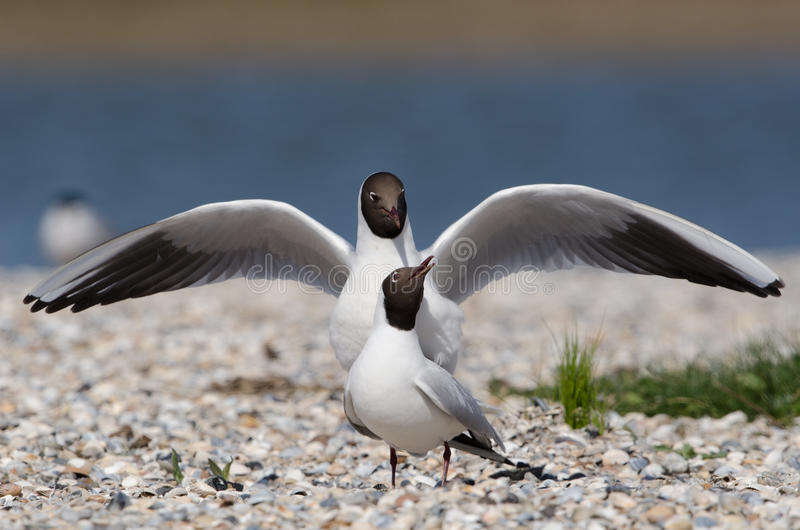 Download Black-headed Gull Stock Photo - Image: 25168830