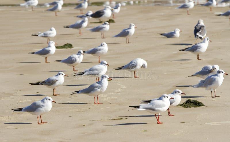 Download Black headed Gull stock image. Image of gull, spain, chroicocephalus - 27512471