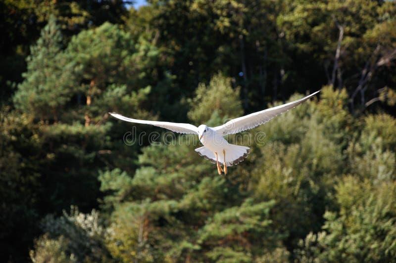 Black-headed-gull Stock Photography