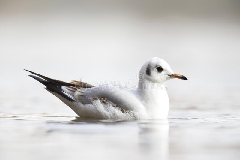 A black-headed gull Chroicocephalus ridibundus swimming in a pond in a Berlin city park. royalty free stock photography