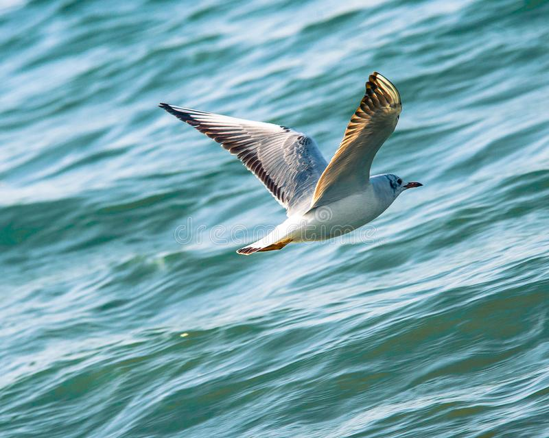 Blackheaded Gull royalty free stock images
