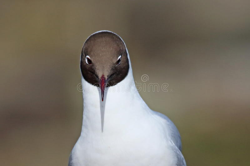 Black headed Gull. On the Farne Islands,Northumberland royalty free stock photography