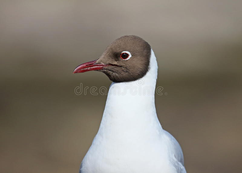 Black headed Gull. On the Farne Islands,Northumberland stock photo
