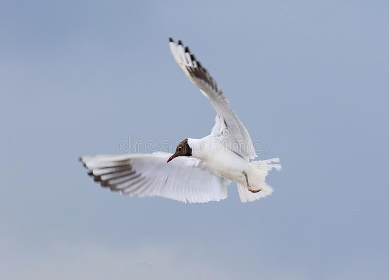 Black headed Gull. On the Farne Islands,Northumberland royalty free stock photo