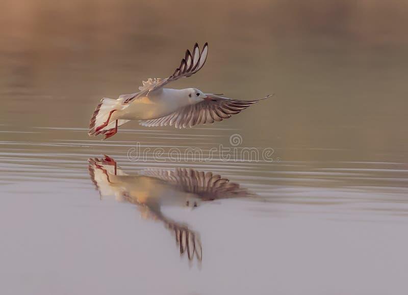 Black Headed Gull flys along the river eatuary royalty free stock photos
