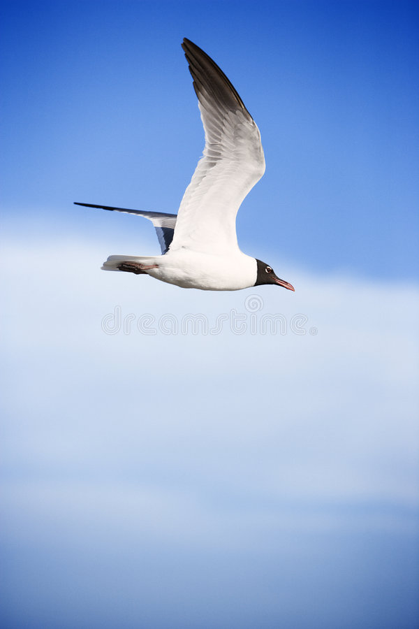 Black-headed gull in flight. royalty free stock images