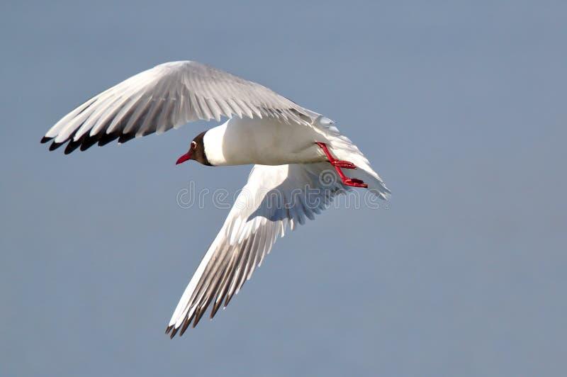 Black headed gull at flight royalty free stock image