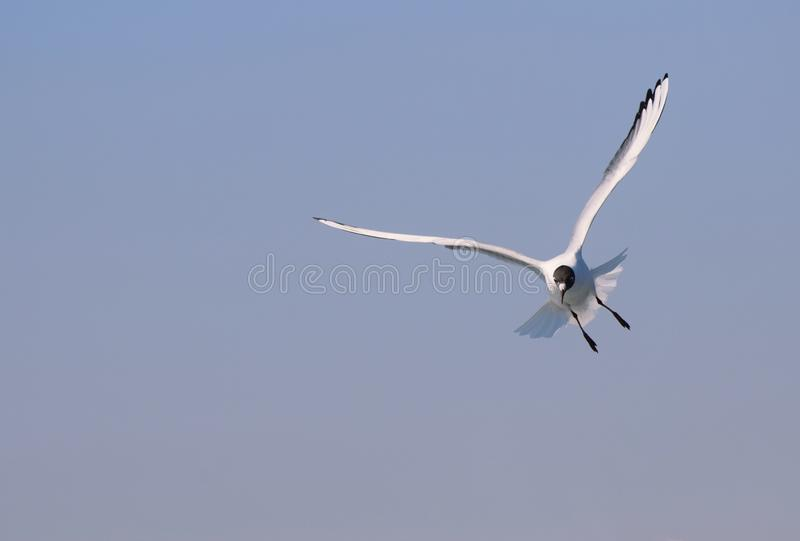 Black headed gull in flight. Larus ridibundus. A black headed gull flying towards the camera in blue skies with space for text / copy stock photo