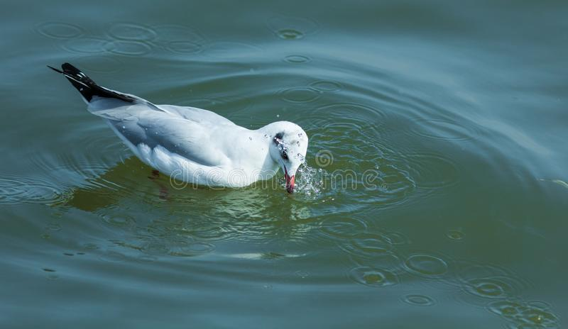 A seagull. royalty free stock image