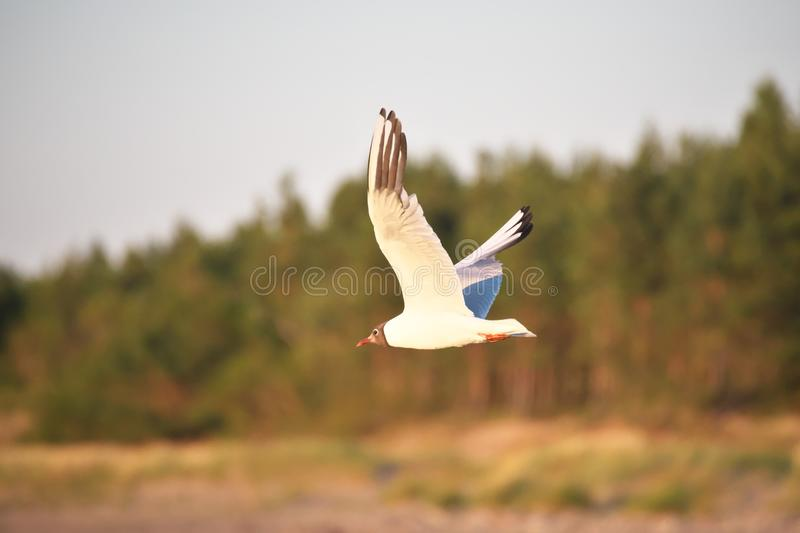 Black-headed gull flying by the coastline of the Baltic sea on sunny summer evening stock photos