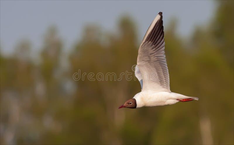 Black-headed gull flies in air stock image