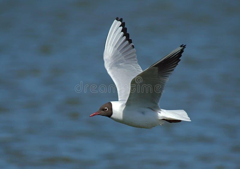 Black-headed Gull, Kokmeeuw, Larus ridibundus royalty free stock photography