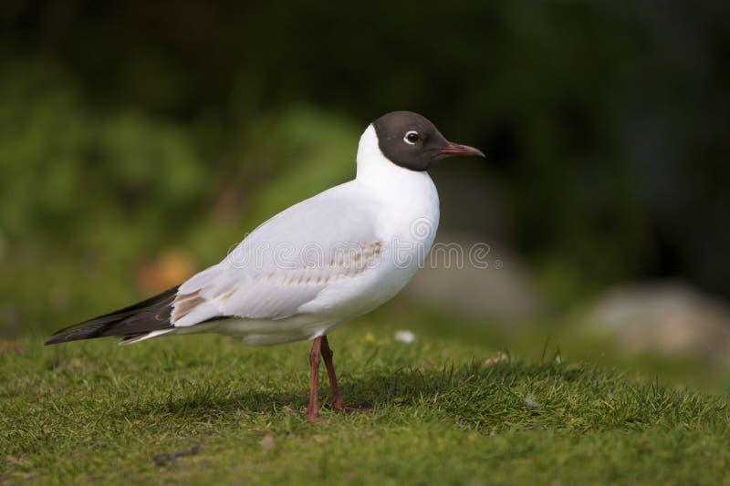Black-headed Gull (Larus ridibundus). Seen in a city park in Denmark royalty free stock photos