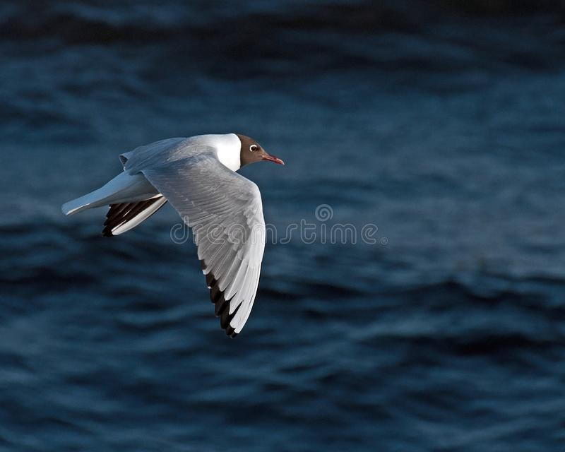 Black-headed Gull, Larus ridibundus flying. Just above the water after the west coast in Sweden royalty free stock image