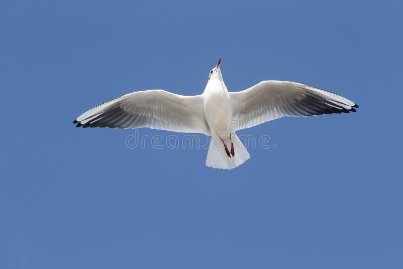 Black-headed gull, Larus ridibundus