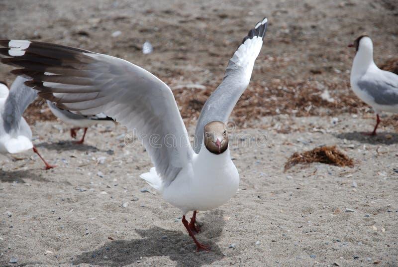 Black Headed Gull stock photos