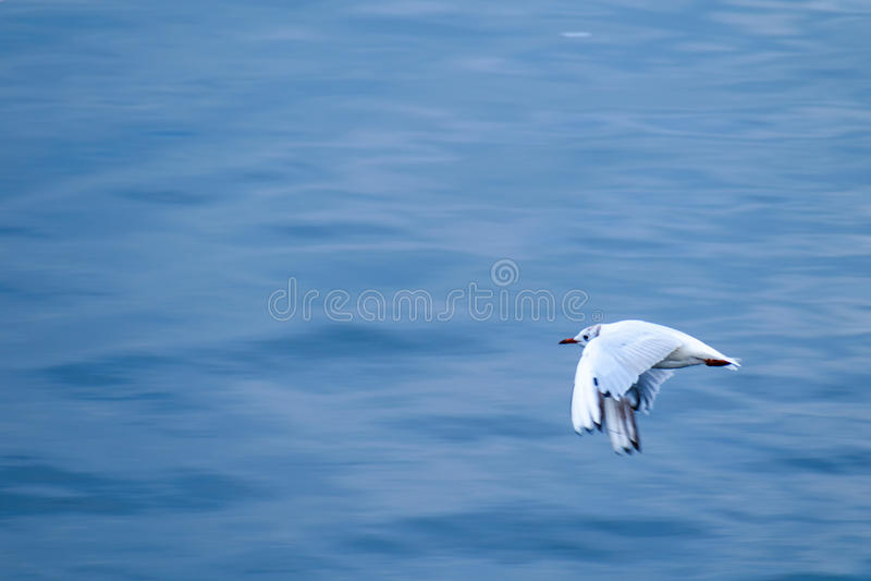 Black-headed gull seagull flying over water stock photo